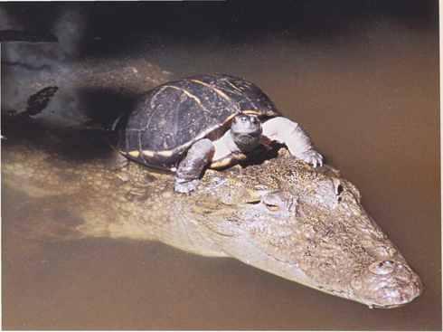 черепаха верхом на крокодиле