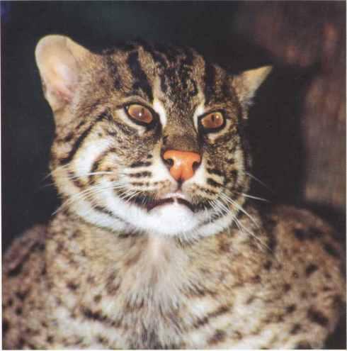представитель кошачьих